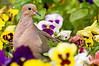 Mourning Dove, 5/14/2008